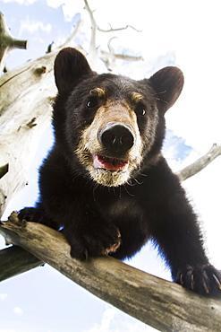 Black Bear Cub (Ursus Americanus), Captive In Alaska Wildlife Conservation Center, South-Central Alaska, Portage, Alaska, United States Of America
