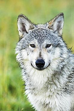 Immature Female Wolf (Canis Lupus), Captive At The Alaska Wildlife Conservation Center, South-Central Alaska, Portage, Alaska, United States Of America