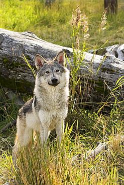 Immature Female Wolf (Canis Lupus), Captive At The Alaska Wildlife Conservation Center, Portage, Alaska, United States Of America