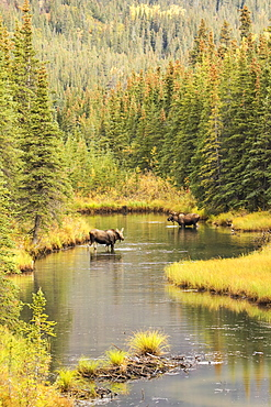 Bull And Cow Moose (Alces Alces) Feeding In A Shallow Pond South Of Cantwell, Photo Taken From Parks Highway Common Moose Habitat, Alaska, United States Of America