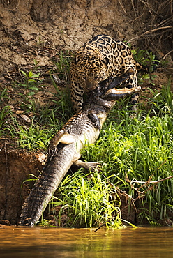 Jaguar (Panthera Onca) Hauling Yacare Caiman (Caiman Yacare) Out Of Water, Mato Grosso Do Sul, Brazil
