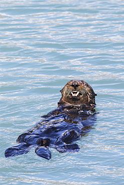 Sea Otter (Enhydra Lutris) Swims In The Small Boat Harbor, Seward, Alaska, United States Of America