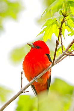 Male Scarlet Tanager (Piranga Olivacea) In A Maple Tree In Late May, Hubbard County, Minnesota, United States Of America