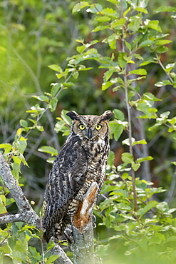 Great Horned Owl (Bubo Virginianus) Hunts For Prey, Looks At Camera While Perched With Ear Feathers Showing Well, Potter March Area, South Of Anchorage, South-Central Alaska, Alaska, United States Of America