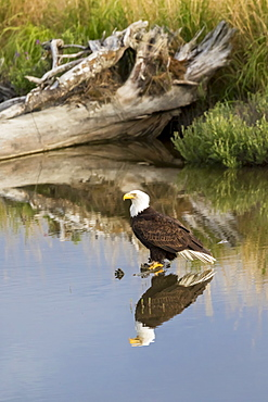 Bald Eagle (Haliaeetus Leucocephalus) Perched In Pond, South-Central Alaska, Alaska, United States Of America