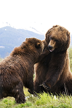 Brown Bears (Ursus Arctos) Captive In Alaska Wildlife Conservation Center, South-Central Alaska, Portage, Alaska, United States Of America