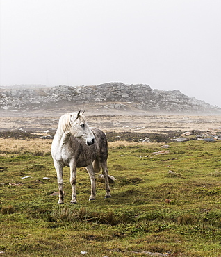 A Wild, White Horse Standing In A Foggy Field