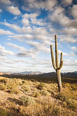 Saguaro (Carnegiea Gigantea) Cactus And Landscape, Arizona, United States Of America