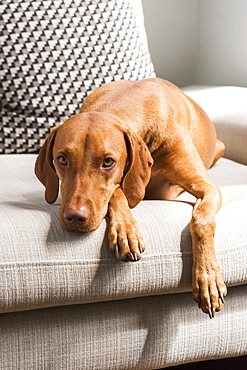 Hungarian Vizsla Facing Camera Lying On Sofa, Reigate, England