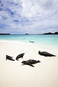Sealions On White Sand Beach With Crystal Clear Turquoise Sea