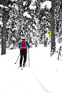 Male Cross Country Skier Along Groomed Trail With Snow Covered Trees, Lake Louise, Alberta, Canada