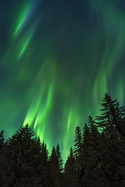 The Aurora Daances Over The Tree Tops, Northern Lights, Tongass National Forest, Alaska, United States Of America