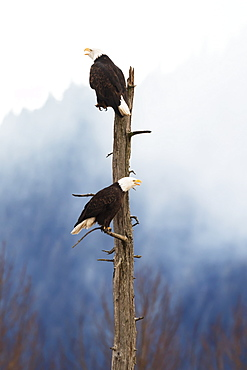 Adult Bald Eagles (Haliaeetus Leucocephalus) Perched On Top Of A Dead Tree, Portage Valley, Alaska, United States Of America