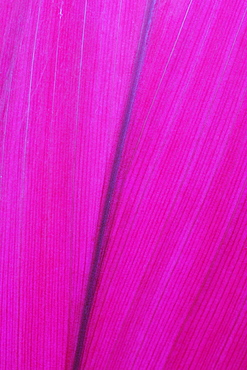 Close Up Detail Of A Pink Flower Petal, Hawaii, United States Of America