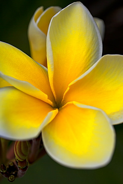 Close Up Of A Yellow And White Tropical Flower, Hawaii, United States Of America