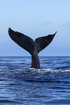 Tail Of A Humpback Whale (Megaptera Novaeangliae) Out Of The Water, Hawaii, United States Of America