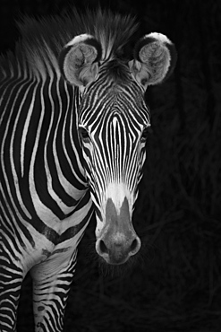 Close-Up Of Grevy's Zebra (Equus Grevyi) Looking At Camera Against A Black Background, Cabarceno, Cantabria, Spain