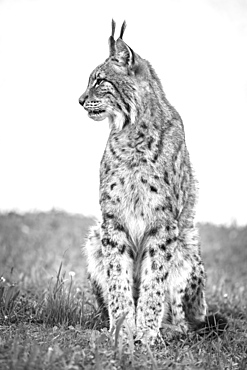 Canada Lynx (Lynx Canadensis) Sits On Grass Looking Sideways, Cabarceno, Cantabria, Spain