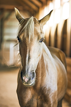 Portrait Of A Blond Horse In A Barn, Canada