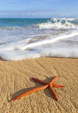 A Red Live Finger Starfish, Also Known As Linckia Sea Star, Found Along A Sandy Beach With White Ocean Tide Washing Up, Honolulu, Oahu, Hawaii, United States Of America