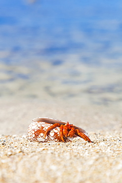 A Hawaiian Sea Creature, Halloween Hermit Crab (Ciliopagurus Strigatus) On The Sandy Beach, Honolulu, Oahu, Hawaii, United States Of America