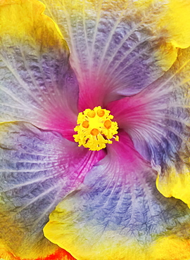 Close-Up Macro Shot Of A Beautiful Lavender, Pink And Yellow Hibiscus Flower, Honolulu, Oahu, Hawaii, United States Of America