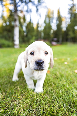 A Shy Young Labrador Puppy Walking On Green Grass Towards The Camera, Anchorage, Alaska, United States Of America