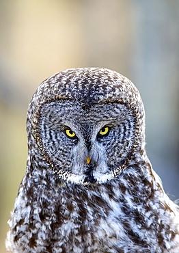 Great Grey Owl (Strix Nebulosa), Alberta Foothills, Alberta, Canada