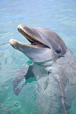 Roatan, Bay Islands, Honduras; A Bottlenose Dolphin (Tursiops Truncatus) In The Water At Anthony's Key Resort