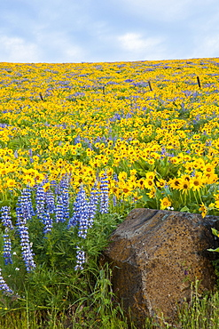 Oregon, United States Of America; Wildflowers In A Field In Columbia River Gorge National Scenic Area