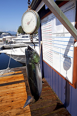 Large Fish Being Weighed On Dock At Weigh West Marine Resort; Tofino, Vancouver Island, British Columbia, Canada