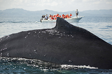 Close-up of whale with tourists on boat in background