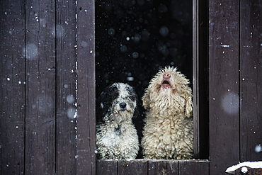 Spanish Water Dogs watching snow from barn doorway