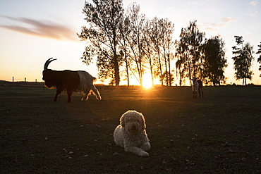 Dog and goats on rural farm at sunset