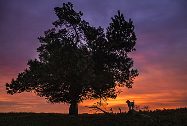 Silhouette dog standing under rural tree and dramatic sunset sky