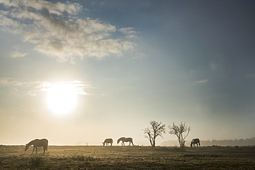Silhouette horses grazing in idyllic rural field at sunrise