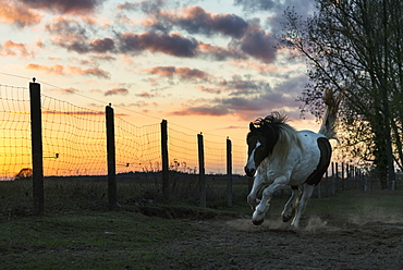 Horse running in rural pasture at sunset