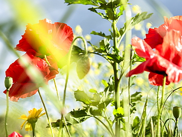 Close up red poppy flowers