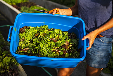 Farmer harvesting fresh salad greens in bin