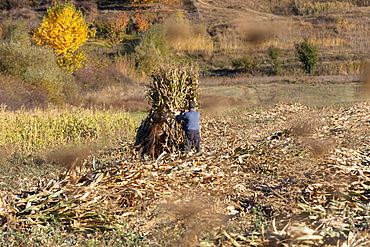 Farmer making corn stack in sunny rural field, Albania