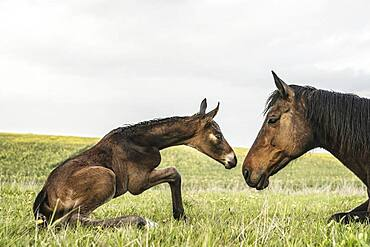 Beautiful brown horse mare and foal face to face in field