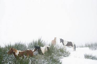 Brown and white horses in snowy field