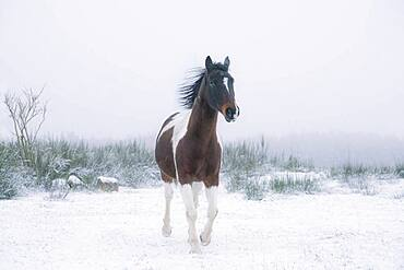 Beautiful brown and white horse in snowy field