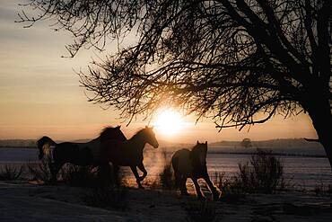 Silhouetted horses running in idyllic sunset field