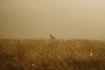 Fawn in golden field at sunrise, Peak District National Park, England