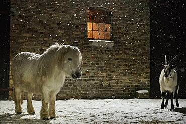 Pony and goat in snow outside barn at night