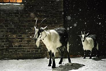 Black and white goats in snow