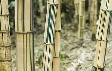 Close-up of bamboo trees