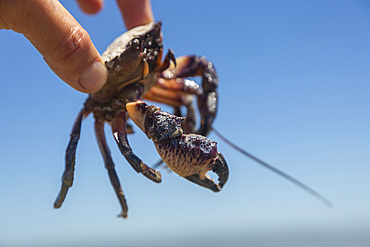 Hand holding small crab against sunny blue sky
