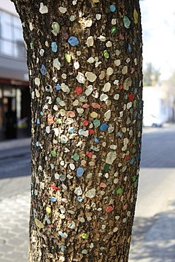 Chewed bubble gums on tree trunk